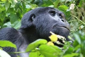 ナイロビ発ルワンダサファリ 野生のゴリラに出会う3泊4日【ナイロビ空港発着往復航空券付】