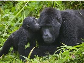 キリマンジャロ発ウガンダサファリツアー 野生のゴリラに出会う3泊4日【キリマンジャロ空港発着往復航空券】