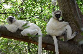 『アイアイ』に会いに行く! マダガスカルの自然、動物たちに出会う4泊5日【アンタナナリボ空港送迎 / 宿泊4泊 / 日本語ガイド / 全食事】