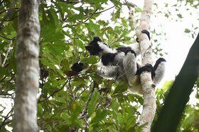 『アイアイ』に会いに行く! マダガスカルの自然、動物たちに出会う4泊5日【ヨハネスブルグ発着往復航空券 / 空港送迎 / 宿泊4泊 / 英語ガイド / 全食事】