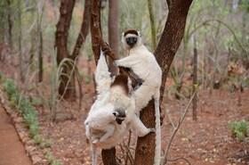 南マダガスカル 沢山のキツネザルが集まる地域 ベレンティー私設保護区を訪れる4泊5日 【ヨハネスブルグ発往復航空券 / 空港送迎 / アンタナナリボ市内2泊+ベレンティー2泊 / 日本語ガイド / 全食事】