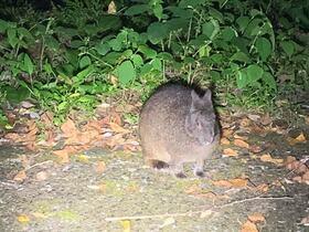 アマミノクロウサギに会いに行こう!野生生物観察ナイトツアー【奄美大島住用町】