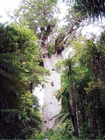 カウリの森林 ワポウアフォレスト