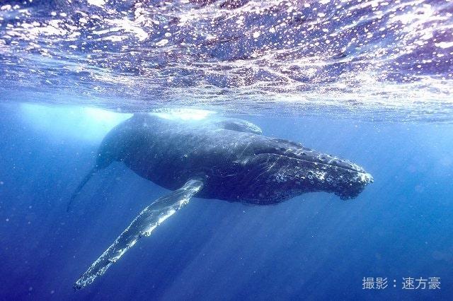 日帰りでザトウクジラと泳ぐ!奄美ホエールスイムツアー【奄美大島瀬戸内町/ 2月12日~2月21日限定】
